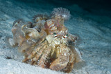 Hermit crab carrying anemone on his shell. poster