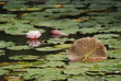 Green Lily pads and pink Lily flowers on a lake