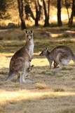 Mother Wallabies with Joeys