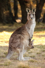 Mother Wallaby with Joeys