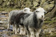 Herdwick Sheep, Lake District, Royaume-Uni