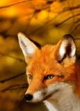 Fototapeta polowanie - futro - Dziki Ssak