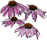 Sketchy Echinacea flowers poster