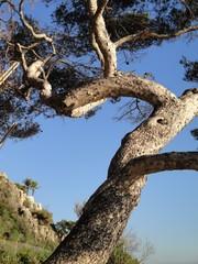 pino nel vento
