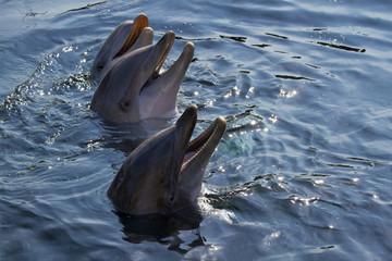 Bottlenose dolphins or Tursiops truncatus