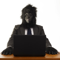 Gorilla in the office ready to work, white background.