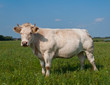 White cow with horns is posing in Dutch meadow