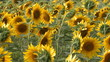 Panoramic on sunflowers field