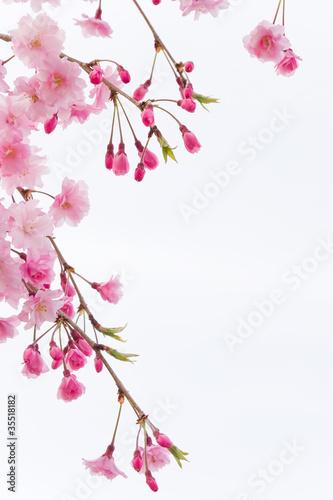 Papiers peints Cerises cherry blossom