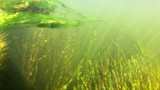 Underwater grass in the river poster