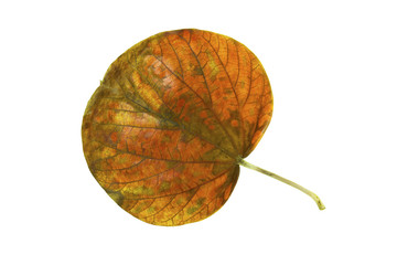 Leaf of the national tree of Jamaica