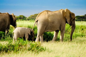 Elephant from Africa