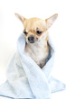 important Chihuahua dog with blue towel