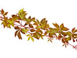 autumn vine branch isolated