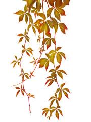 autumn vine branch