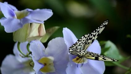 オオゴマダラチョウとノウゼンカズラ