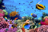 Fototapety Photo of a coral colony on a reef, Egypt