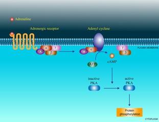 Adrenaline molecular pathway