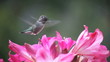 close-up view of a hummingbird in belladonna lilies