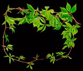 vine branch over black background