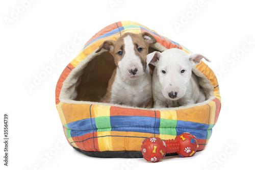 deux chiots bull terrier dans leur couchage en tissu