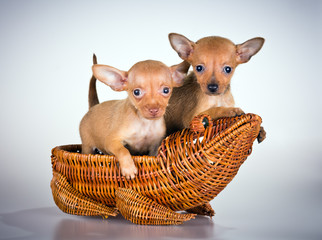 Puppies Russian toy terrier