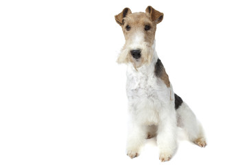 very proud fox terrier