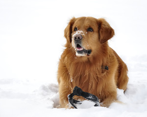 Golden Retriever dog snow close-up