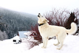 one white howling dog on mountains in winter