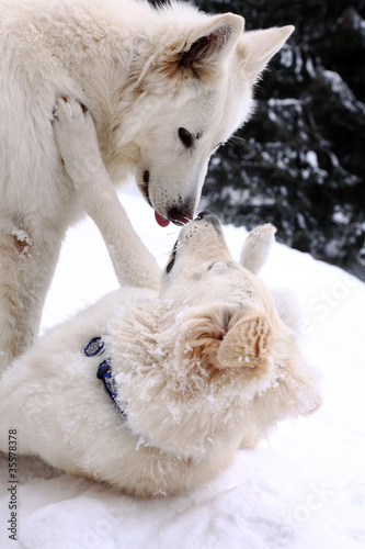 white two doggery fiddling in snow on mountains