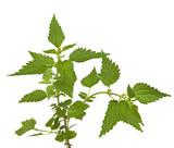 Stinging or common nettle, Urtica dioica, isolated on whi poster