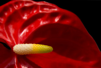 red Anthurium, isolated on black