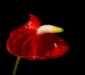 shameless flower (Anthurium)