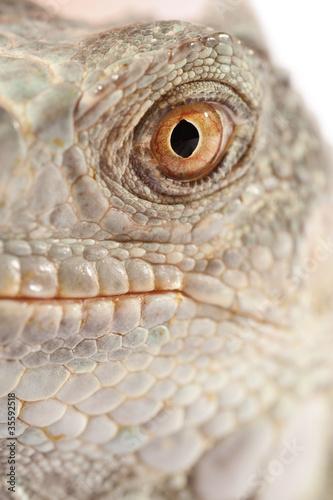 green iguana muzzle