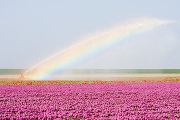 Tulip fields in the Netherlands  covered by a rainbowe