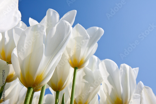 Beautiful white tulips with a yellow heart