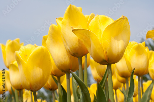 Beautiful yellow tulips against a blue sky