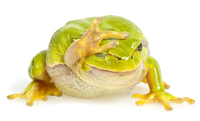 one tree frog isolated on white background