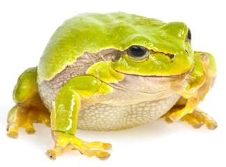 tree frog  on white background