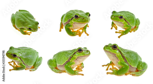 Foto op Canvas Kikker tree frog isolated on white background