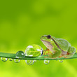 tree frog on leaf with dew drops