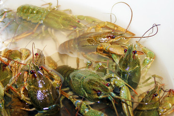 scene river crayfish as illustration