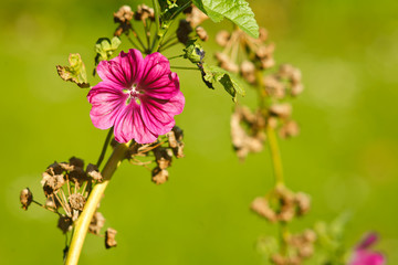 Beautiful blossom of Malva Alcea