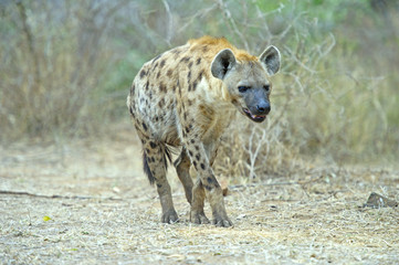 A wary Hyena approaches its den