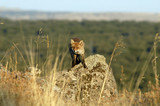 El zorro sobre la roca