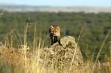 Zorro en el campo
