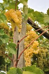 Vite con grappoli d'uva bianca