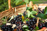Fototapety Chokeberries (Aronia) berries in basket