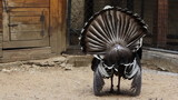 turkey dissolve feathers on tail and turned backwards in village