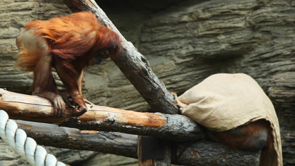 adult orangutan sits on beams and holds rope in zoo